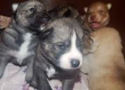 Ojos azules siberian husky cachorros gratis
