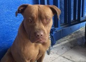 Perrita pitbull encontrada