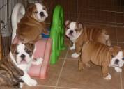Regalo inglés bulldog cachorros