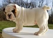 Regalo cachorros bulldog de raza mezclar