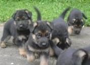 Pastor alemán cachorritos
