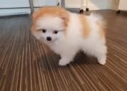 Preciosas cachorros de teacup pomeranian