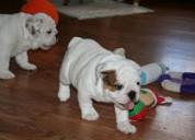 Bulldog frances y ingles