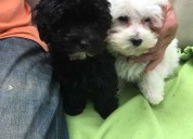 Cachorros maltipoo tiny adorable impresionantes be