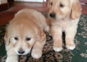 Preciosos cachorros golden retriever registrados