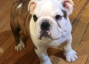 Hermosos cachorros bulldog ingles de 10 semanas