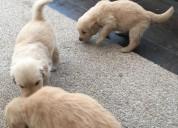 Cachorros de golden retriever pedigree