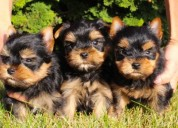 Regalo cachorros toy de yorkshire terrier mini pa