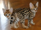 Hermosos gatitos serval y f1 savannah disponibles