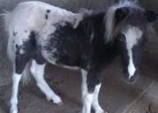 Pony en venta