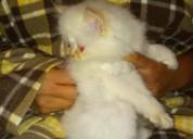 Hembra gatita persa himalaya de 8 semanas lista