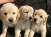 Cachorros golden retriever disponibles