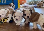 Cachorros bulldog inglés en venta