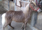 Pony  en  venta  entrega inmediata