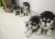 R juguetones cachorros de husky siberiano