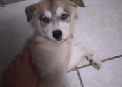 Husky cachorros de 2 meses
