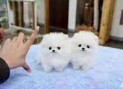 Buenos cachorros de pomerania para tu hogar