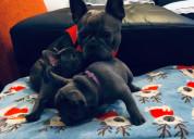 Bulldogs franceses de calidad real