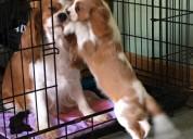 Cachorros cavalier king charles