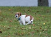 Hermosos cachorros pequeños de jack russell
