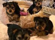 Cachorros de yorkies lindos